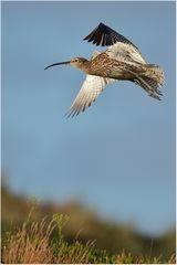 Großer Brachvogel - Numenius arquata