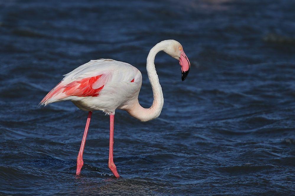 Großer Flamingo - Camargue