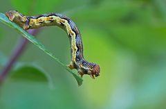 Großer Frostspanner (Erannis defoliaria)