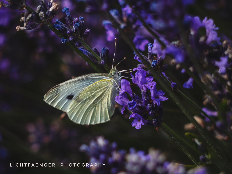 Großer Kohlweißling im Lavendelfeld