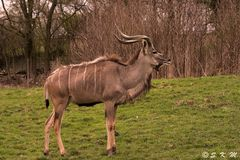 Großer Kudu - Antilopenart