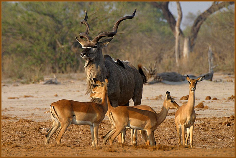 Großer Kudu-Bulle mit Impala-Damen