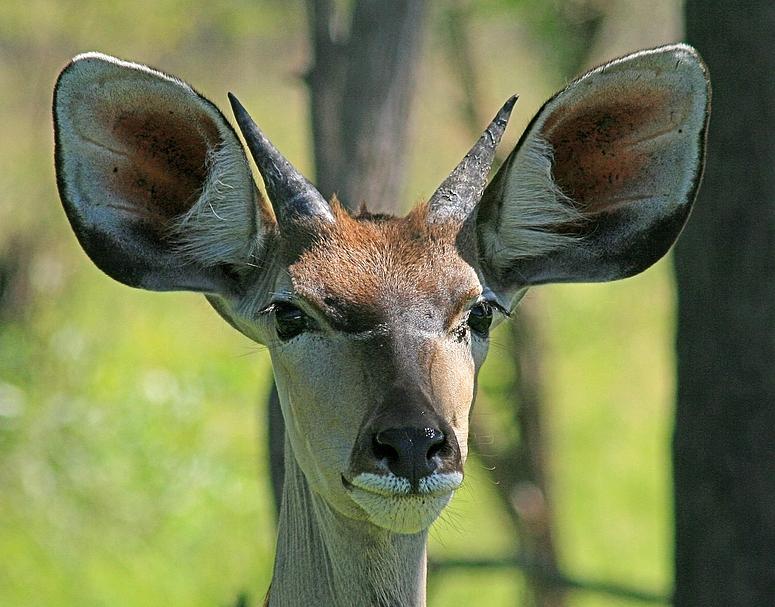 Großer Kudu - ganz nah