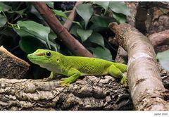 Großer Madagaskar-Taggecko...