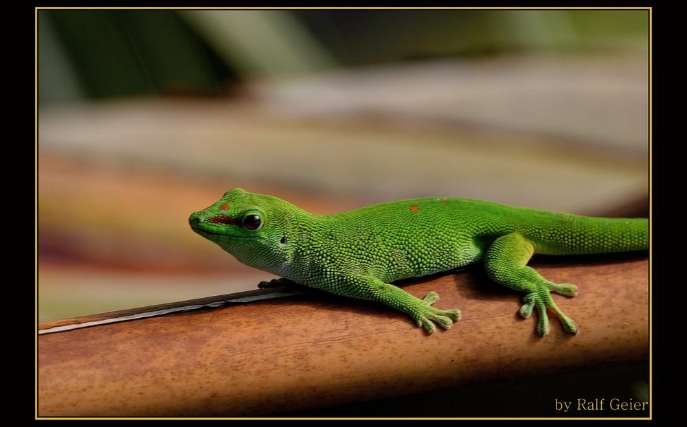 Großer Madagassischer Taggecko (Phelsuma madagascariensis grandis)