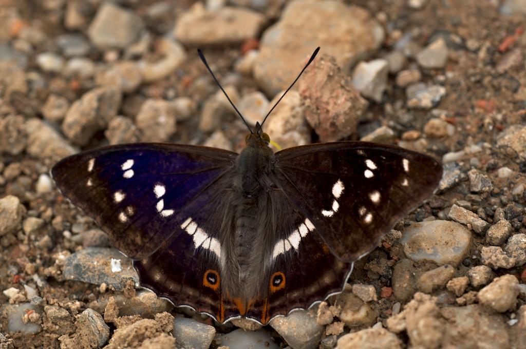 Großer Schillerfalter, Apatura Iris - Schmetterling des Jahres 2011
