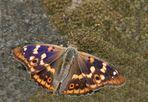 Großer Schillerfalter (Weibchen)