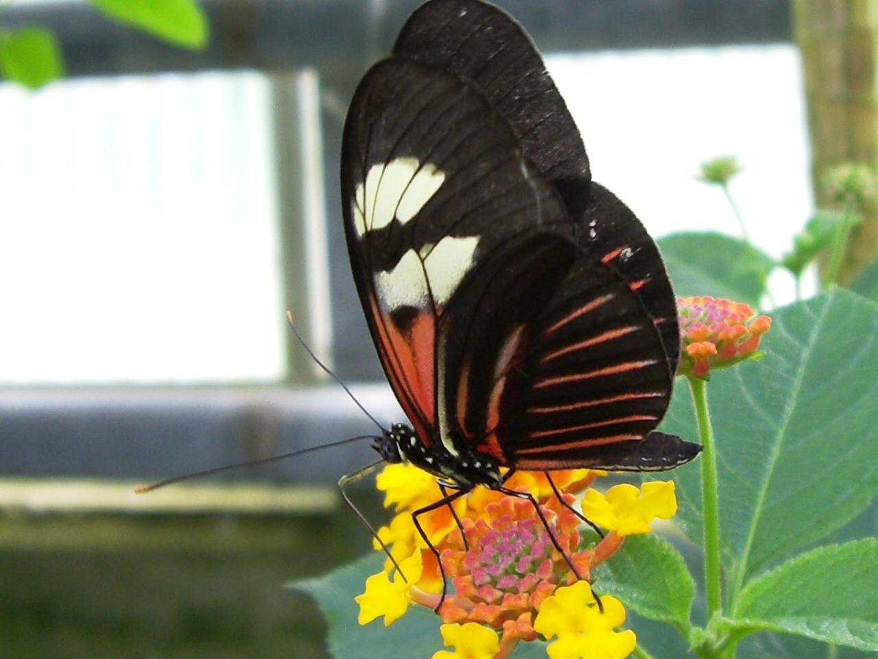 Großer schwarzroter Schmetterling