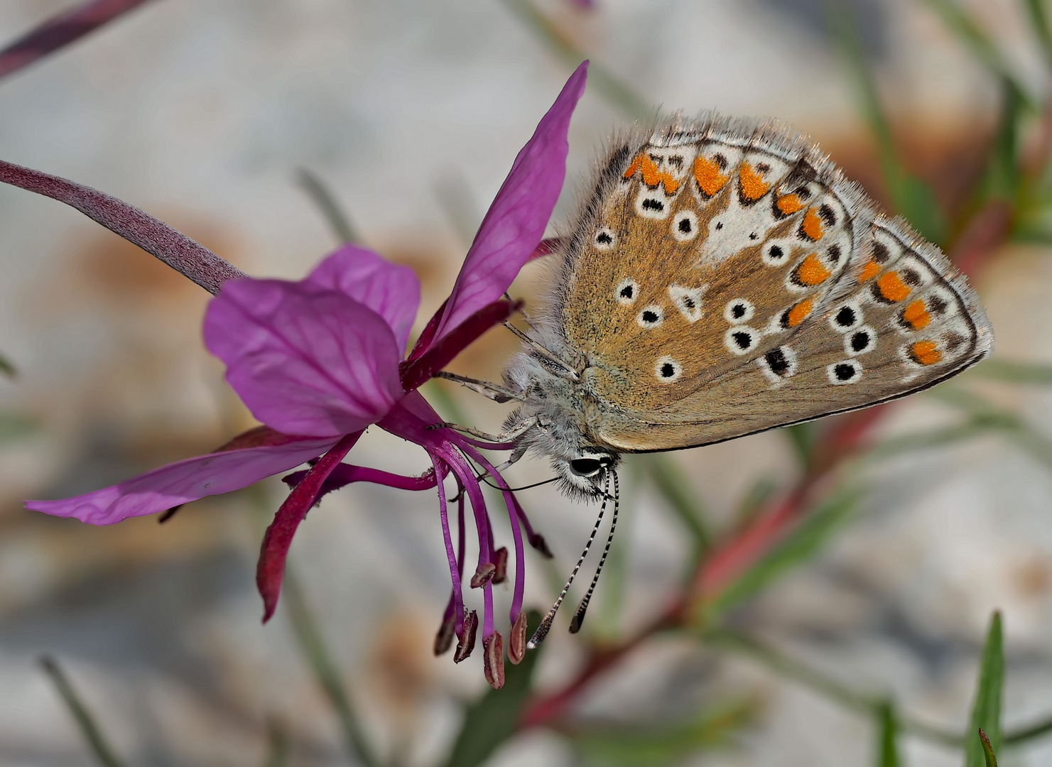 Grosser Sonnenröschen-Bläuling (Aricia artaxerxes) - L'Argus de l'hélianthème.