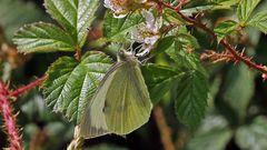 Grosser weiblicher Kohlweissling-Pieris brassicae...
