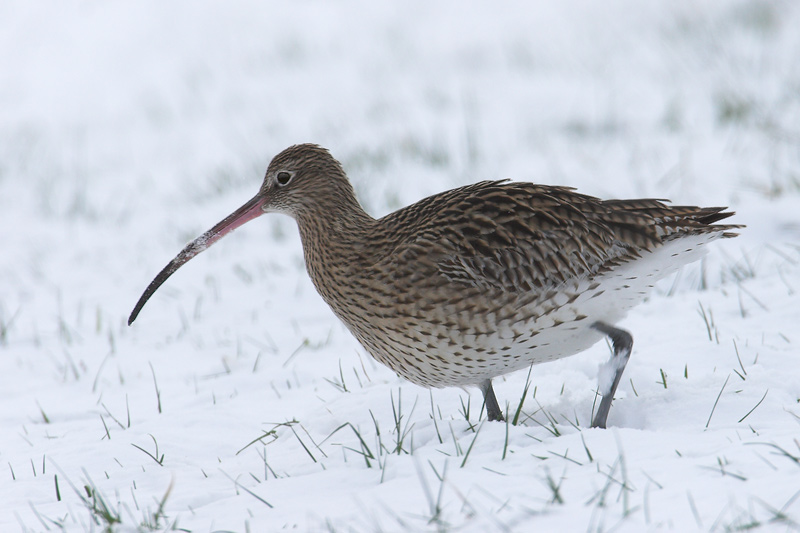 Großer (Winter)Brachvogel...#01