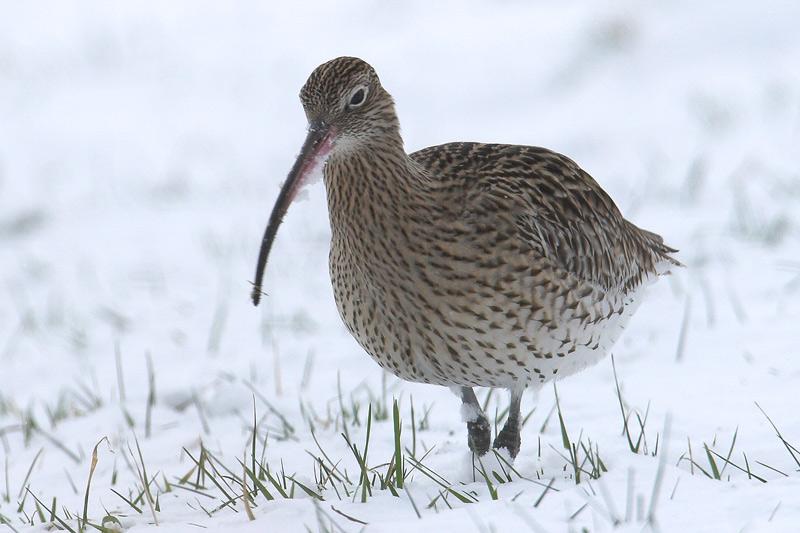 Großer (Winter)Brachvogel...#02
