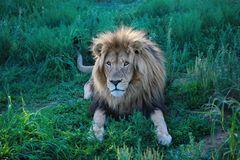 Großes braunes Löwen Männchen im Gras