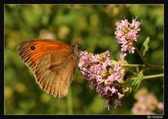 Grosses Ochsenauge... Schmetterling Nr. 2