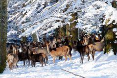 Großes Rudel Rotwild in tief verschneitem Winter-Zauber-Wald