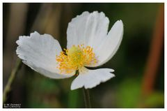 - Großes Windröschen 2 - ( Anemone sylvestris )