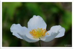 - Großes Windröschen - ( Anemone sylvestris )
