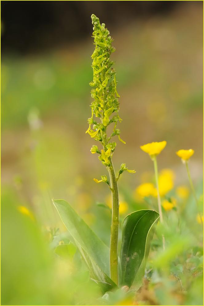 """Großes Zweiblatt - eine """"unscheinbare"""" Orchidee"""