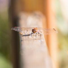 Großlibelle am Stockweiher