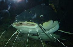 Grossmaul im Aquarium in Tampere, Finnland