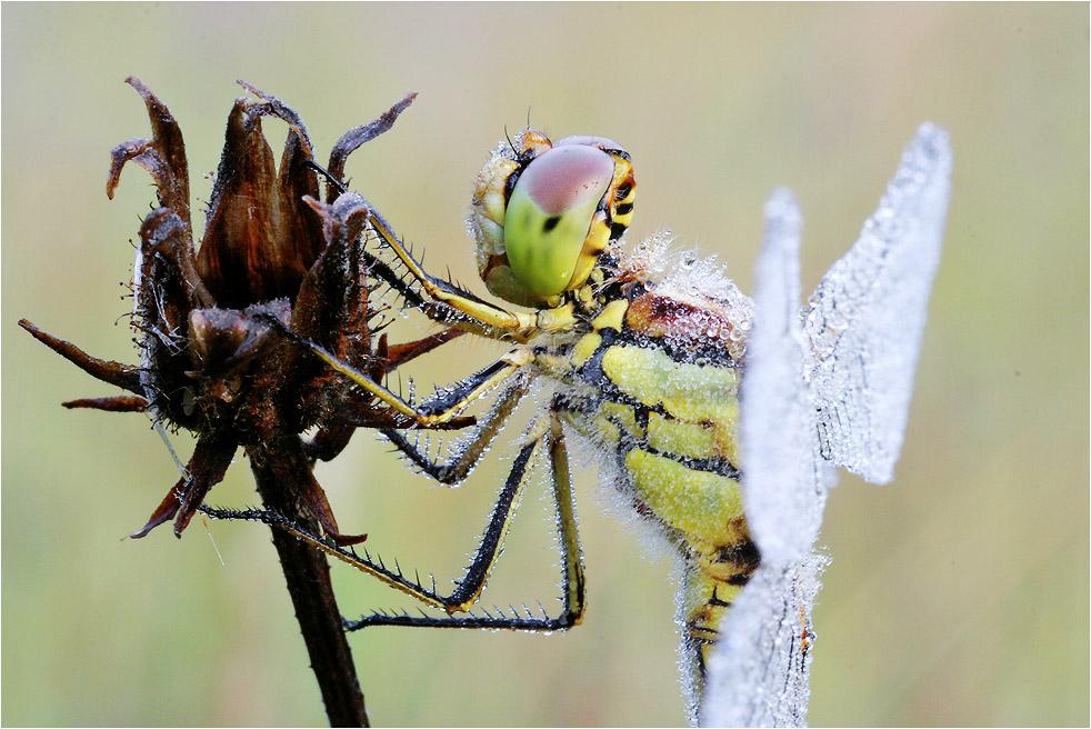 Großstadt Libelle