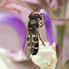 Grossstirn-Schwebfliege (Scaeva selenitica)