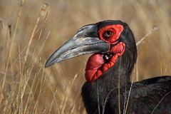 ~ground hornbill~