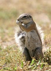 Ground squirrel / Erdhörnchen