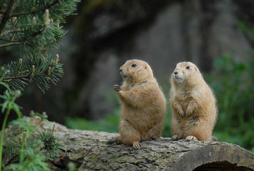 Groundhog Christmas