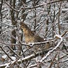 Grouse in an Apple Tree