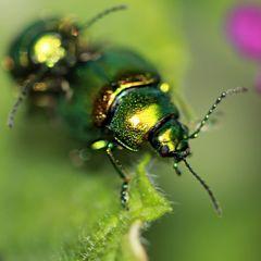 grün-gold schillerndes Getier.....