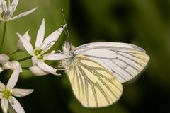 Grünader-Weißling an Bärlauchblüte