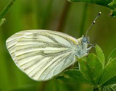Grünader Weißling