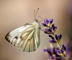 Grüne Adern am Lavendel