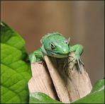 Grüne Baumeidechse - Gastropholis prasina