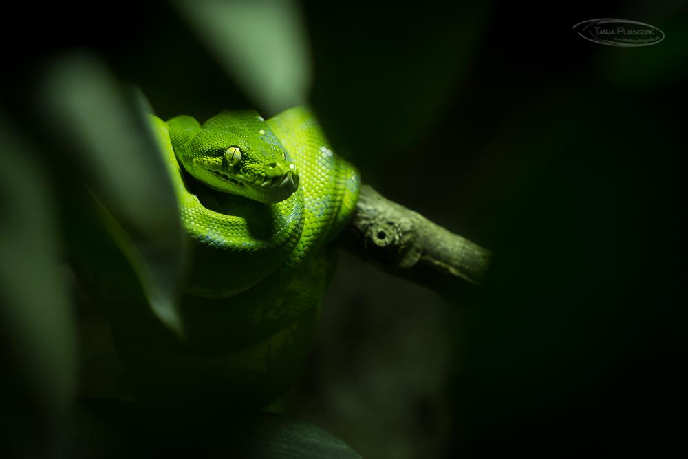 Grüne Baumpython
