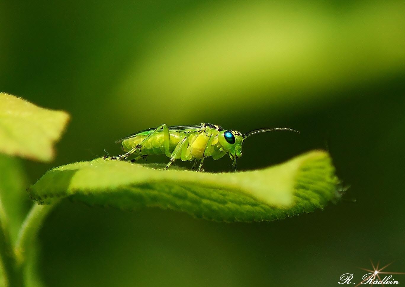 grüne Blattwespe