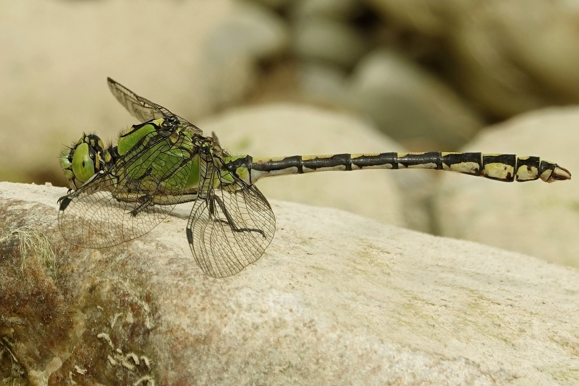 Grüne Flussungfer