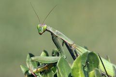 Grüne Gottesanbeterin I