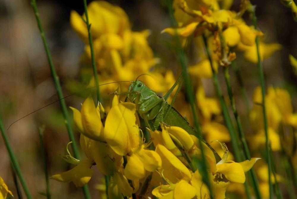 Grüne Heuschrecke auf gelber Blume