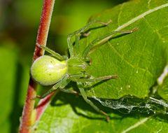 Grüne Huschspinne (Micrommata virescens) - Micrommata verte, ou araignée verte.