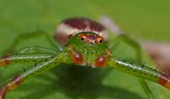 Grüne Krabbenspinne, Männchen (Diaea dorsata) - Araignée crabe minuscule!