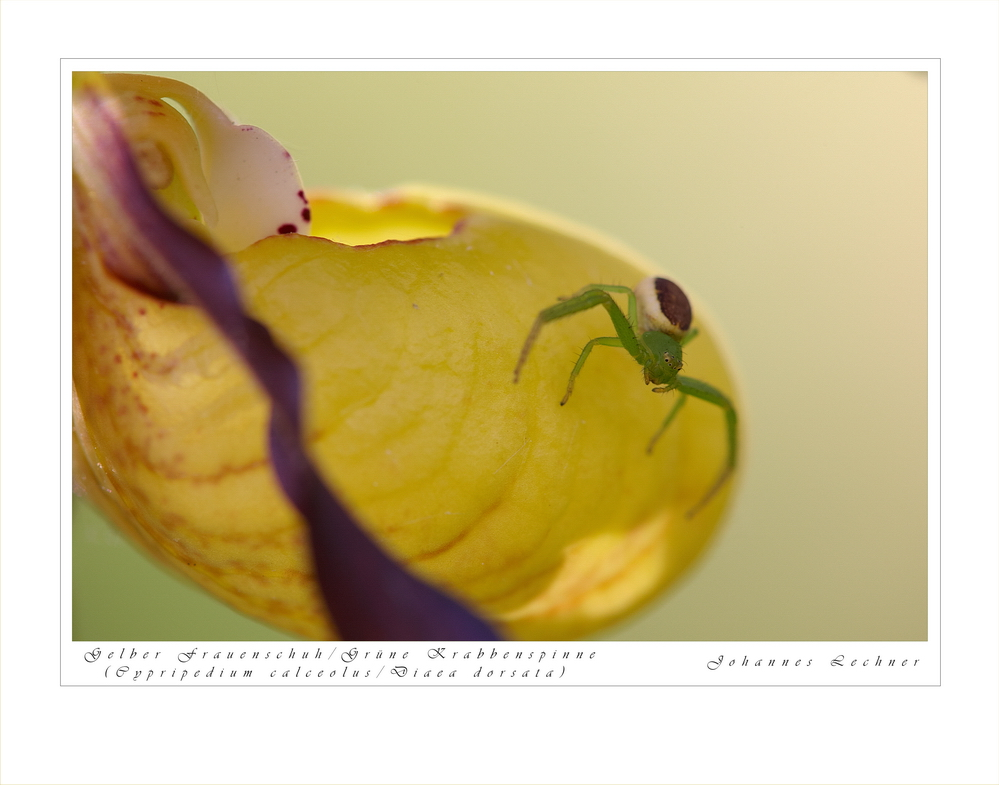 Grüne Krabbenspinne/Gelber Frauenschuh