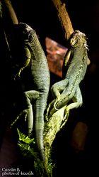 grüne Leguane (Iguana Iguana)