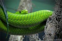 grüne Mamba ....