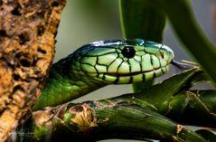 Grüne Mamba (Dendroaspis) 2