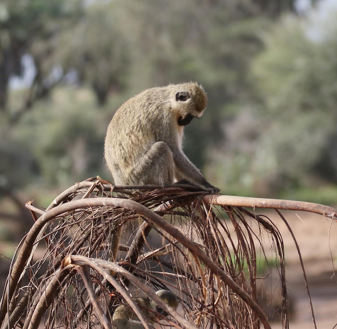 Grüne Meerkatze - Bild 2 - die letzte tierische Aufnahme von unserer schönen Fotosafari