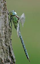 Grüne Mosaikjungfer, Männchen