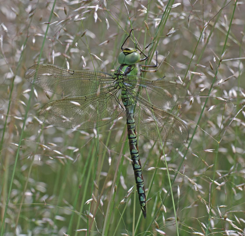 Grüne Mosaikjungfer, Weibchen