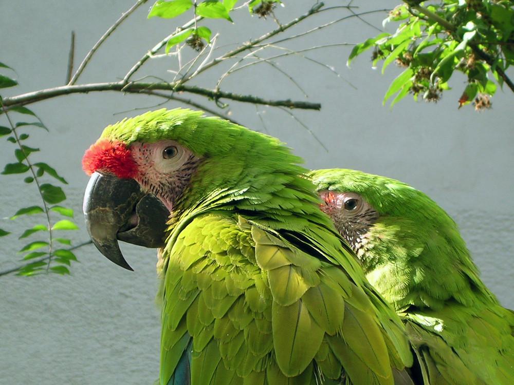 grüne papageien foto & bild | tiere, zoo, wildpark